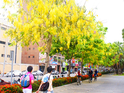 Golden Shower Trees Rain Down Golden Yellow Flowers
