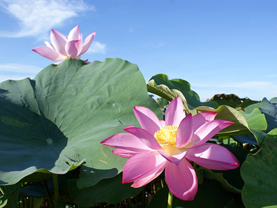 The Optimal Time of the Year to Appreciate the Beauty of Lotus in Baihe