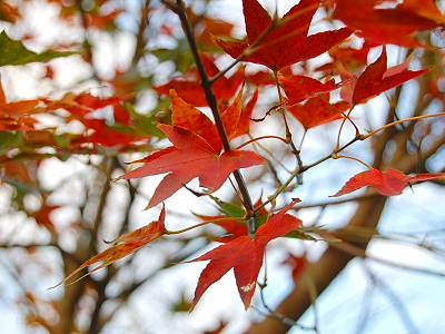 【Traveler series】Admire the Beauty of Maple Trees in Nantou