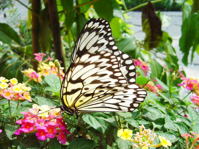【Attraction】Admire the Beauty of Butterfly in Hutao Mountain in Taoyuan
