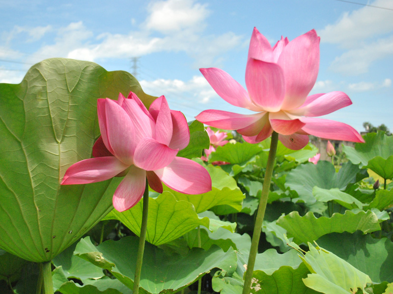 【Festival】The Origin of Lotus Festival in Taoyuan