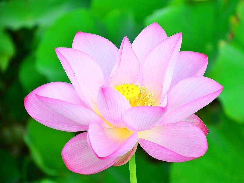 2012 Taoyuan Lotus Flower Festival Kicks off on July 14, 2012