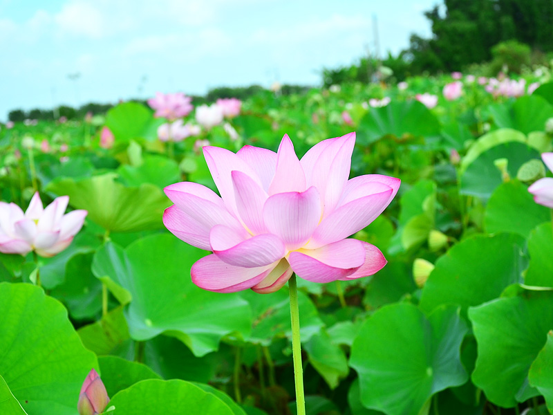 【Festival】2012 Taoyuan Lotus Festival Provides You an Unforgettable Memory