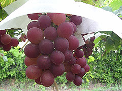 The Introduction of Taiwanese famous grapes--part 1