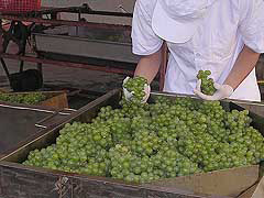 The Introduction of Taiwanese famous grapes--part 2