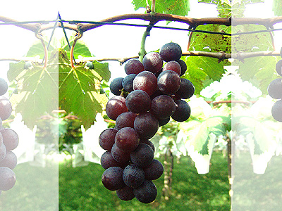 Here comes the winter harvest of Kyoho grapes(巨峰葡萄)-part 1