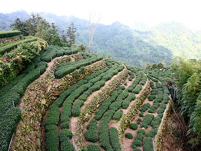 Siding Tea Area(隙頂茶區) (Alishan Tea Trip)