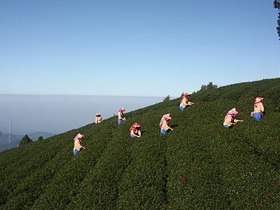 Alishan Ju Lu Tea(阿里山珠露茶) (Alishan Tea Fields Trip)
