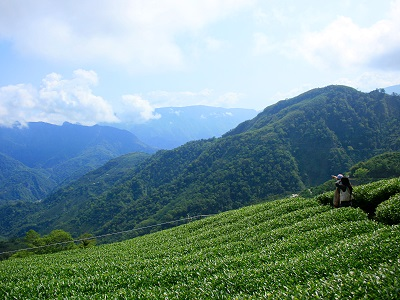 Picturesque Tea Garden Scenery on Rueitai Historic Trail