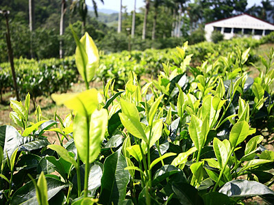 The Seven Major Tea Production Areas in Nantou (Industries)