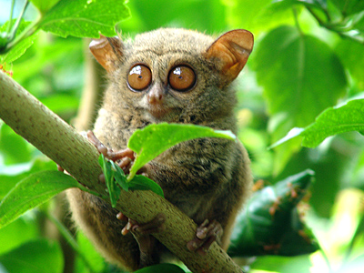 Diving into Manado – Manado Tarsiers Look Amazingly Adorable!