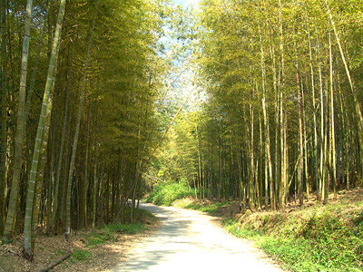 The Beauty of Bamboo Forest in Jhushan (Nature)
