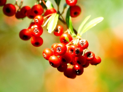 Precious Red Pearls in the Forest – Formosan Firethorn