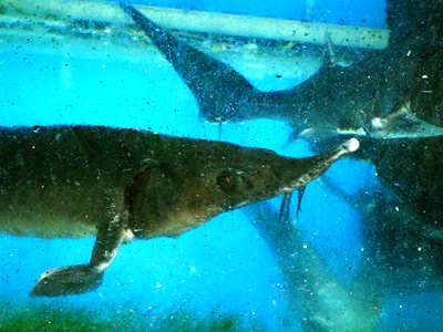 The Crown Jewel of the Sea – Any Parts of the Sturgeon are Precious!