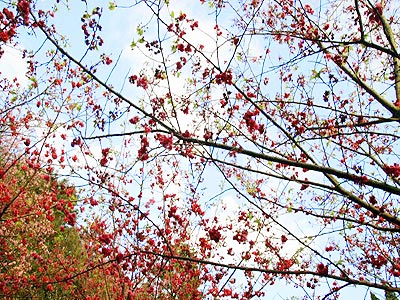 (Spring Tour Itinerary) Experience the Splendid World of Cherry Blossom at Yangmingshan