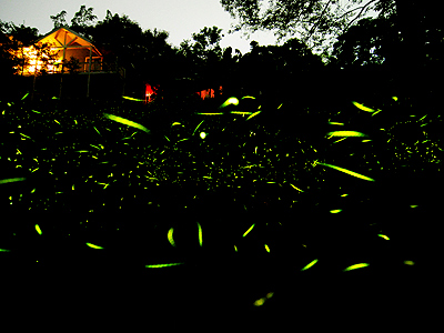 (Ecology) Dancing with Fireflies – Firefly-watching Notes