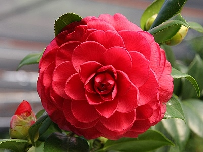 2010 Camellia Season in Hsinchu City to Unveil on December 11th