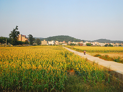 The Most Exquisite Sunset View with Sorghum Field in Kinmen