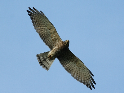 【Ecology】 Watch Gray-faced Buzzard Eagle Every Year in March