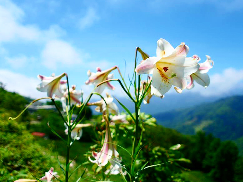 Fall in Love with Charming Lily in Taitung
