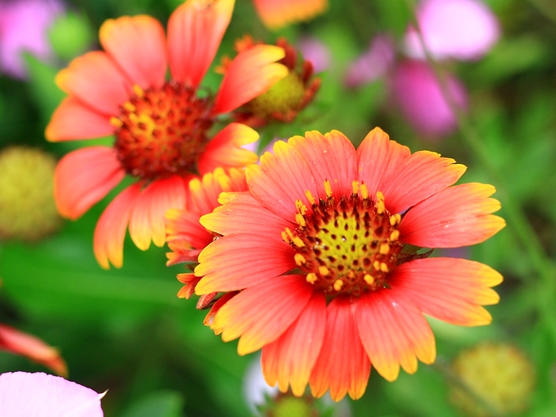 "The Origin of ""Island of Indian blanket"""