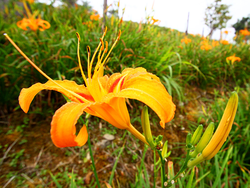 Fall in Love with Attractive Daylily in Taimali, Taitung
