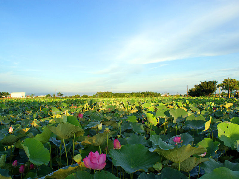 Admire Charming Lotus Flower and Biking in Baiher, Tainan