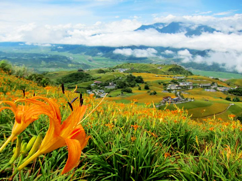 Blossoming Daylilies in Hualien & Taitung between Aug & Sep