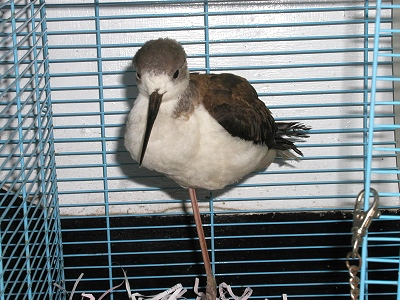 Baby Black-winged Stilts Gradually Recover from the Injury